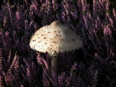Parasol, Cavenham Heath, Wendy Petty