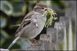 Why have house sparrows declined in number?