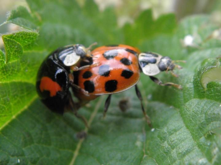 ladybirds - photo #16