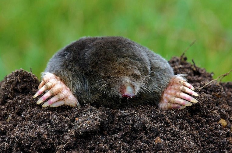 how to keep moles out of my yard