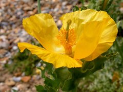 Yellow horned-poppy