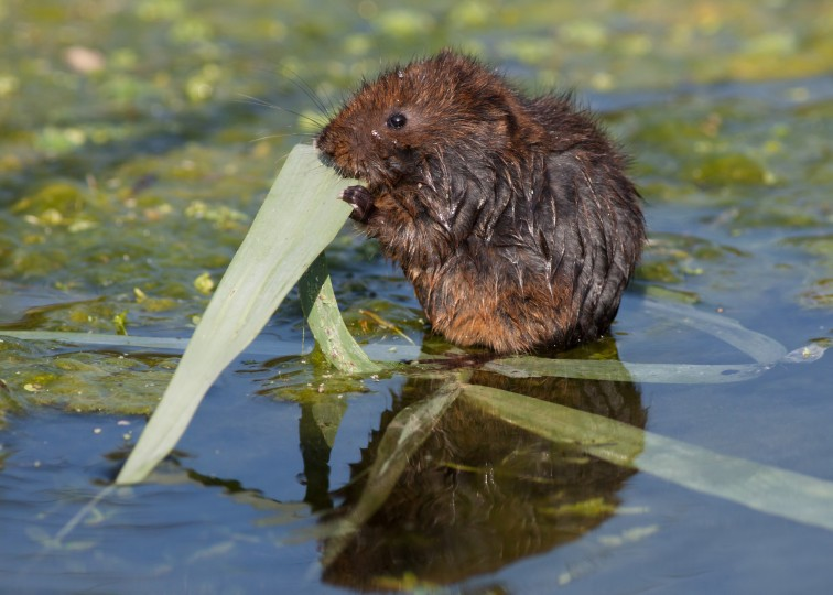 Water Vole, NWT Cley Marshes, Kevin Anderson