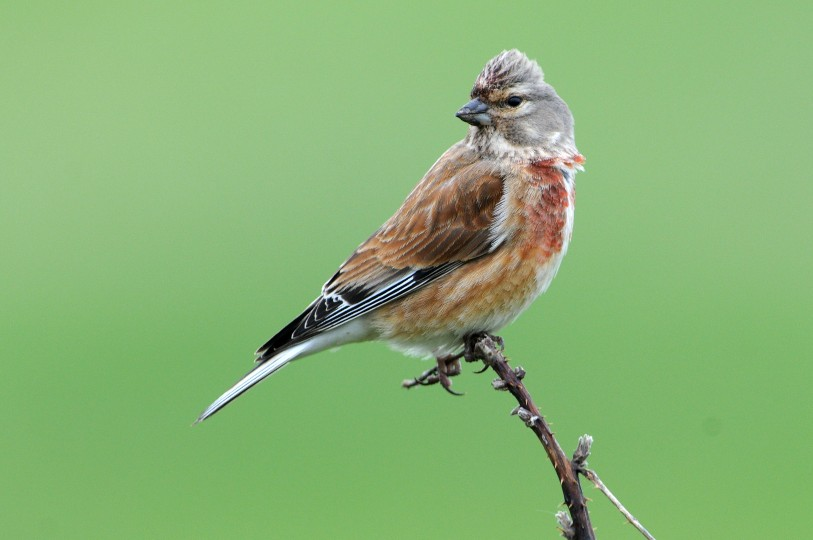 Linnet, Hardley Marshes, Nick Appleton,