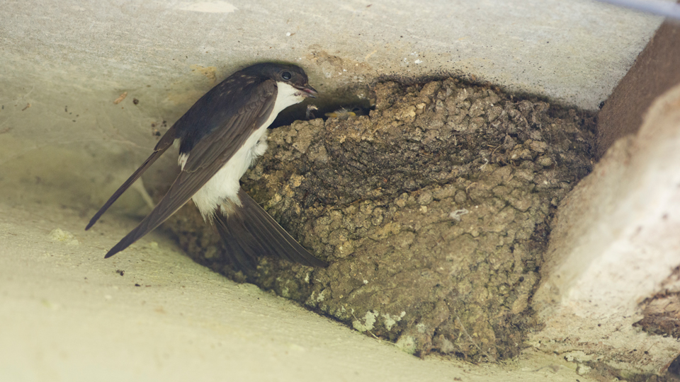 House Martin by Josh Jaggard