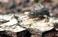 What are the differences between newt species?
