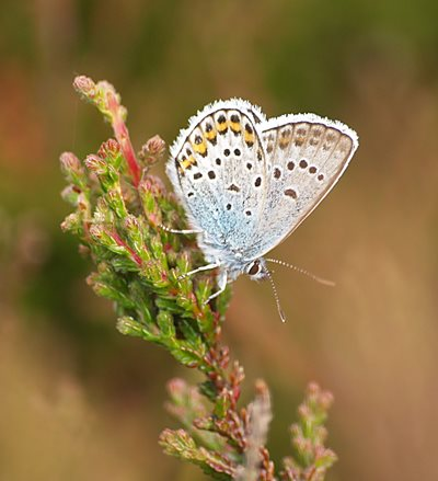Silver-studded blue, by Peter Vousden