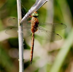 Norfolk hawker, Strumpshaw Fen, Barry Madden