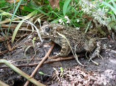 Natterjack toad, photo by Karl Charters
