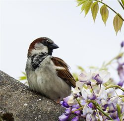 What does a house sparrow look like?