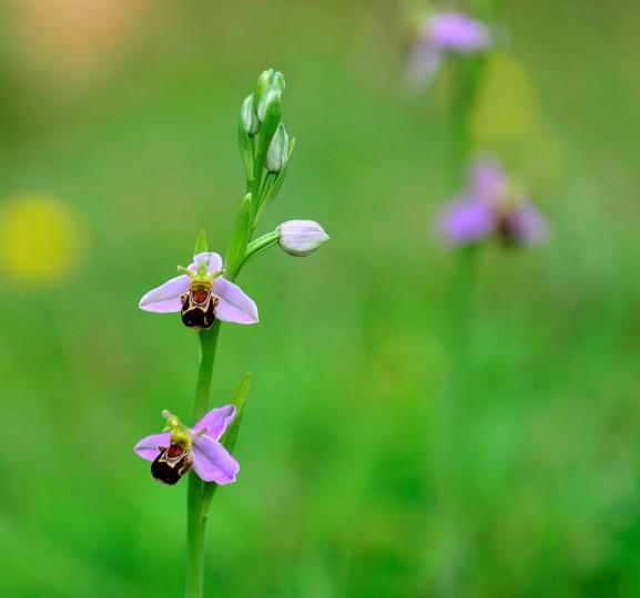 Bee Orchid Norfolk Wildlife Trust
