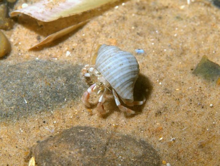 hermit crab norfolk wildlife trust