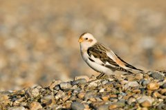 Snow Bunting, Salthouse, Paul Shaw