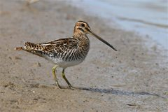 Common Snipe by Nick Appleton