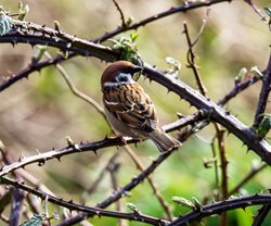 Where can I see tree sparrows in Norfolk?