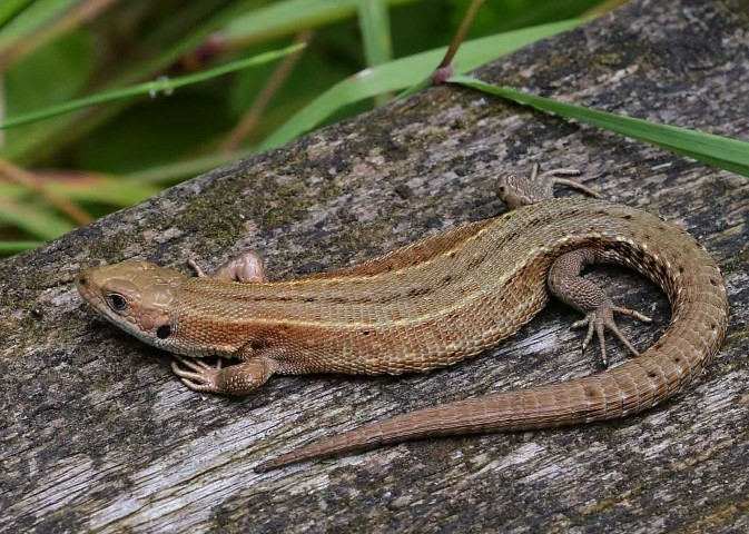 common lizard norfolk wildlife trust
