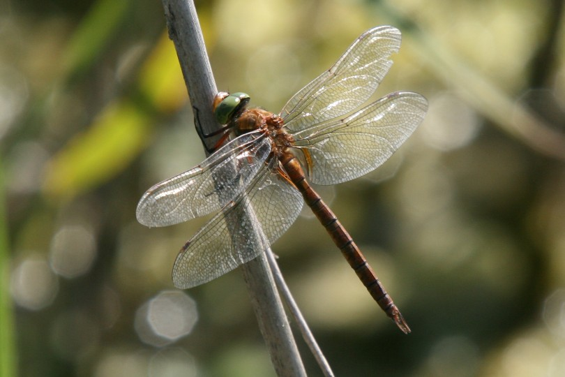 Norfolk hawker by Maurice Furnell