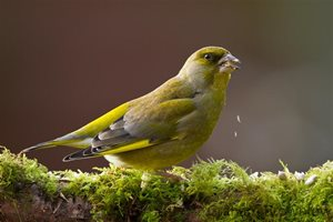 Greenfinch by Graham Brownlow