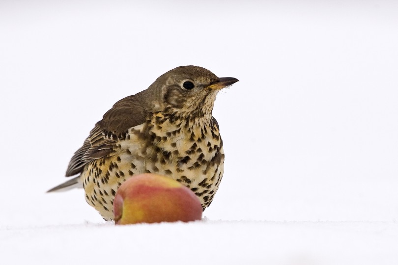 Mistle Thrush, North Burlingham, Peter Mallett