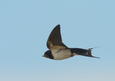Swallow catching food, by Elizabeth Dack