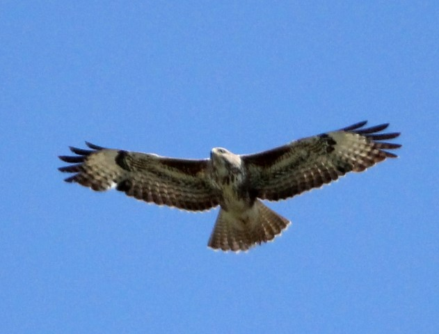 common buzzard norfolk wildlife trust