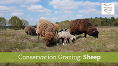 Conservation Grazing: Sheep