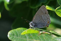 Purple hairstreak at NWT Hickling by Paul Taylor