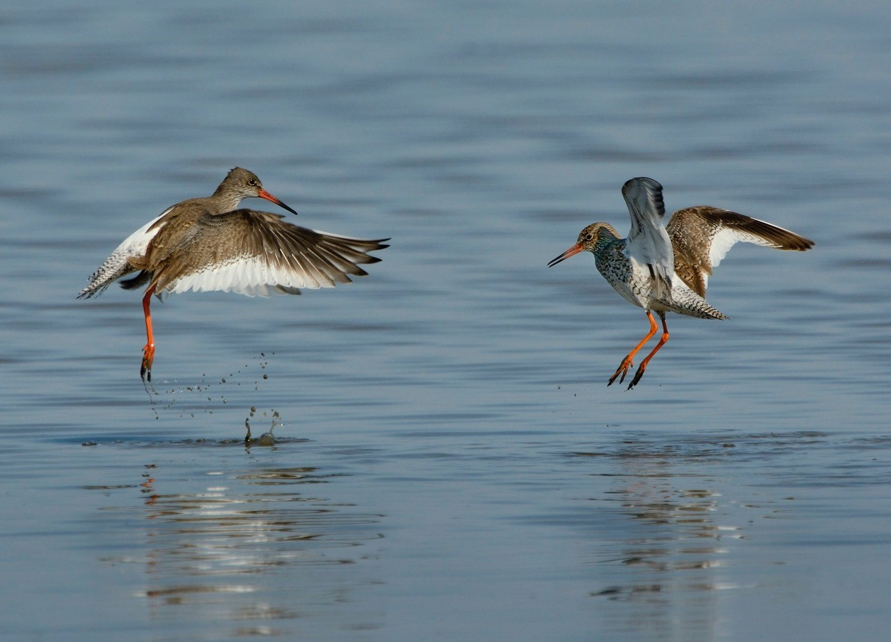 Wading Birds: Richard Chandler, NWT Cley Marshes NR25 7SA | Richard Chandler is the author of the field guide  | Talk, lunchtime, wildlife