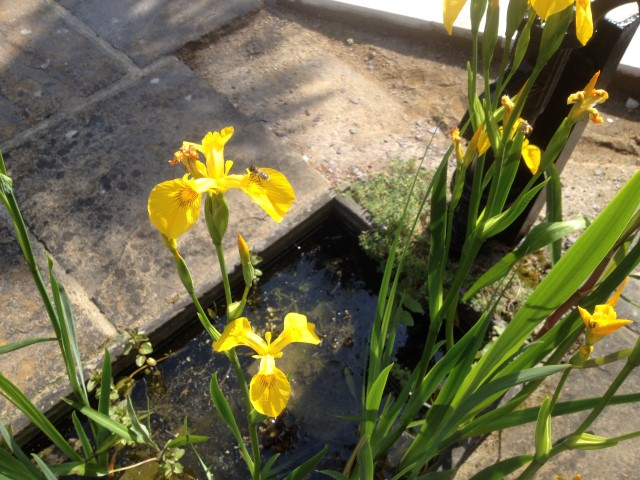 Yellow (Flag) Iris