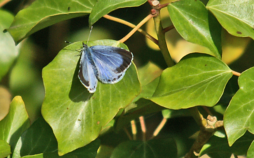 Holly blue (male) by Bob Carpenter