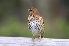 Wildlife in Common - song thrush