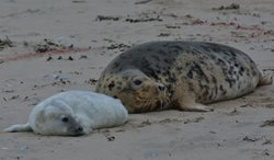 When do grey seals have their pups in Norfolk?