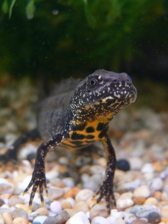 Protected Species Survey: Great crested newts