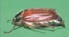 Cockchafer, Dick-Belson