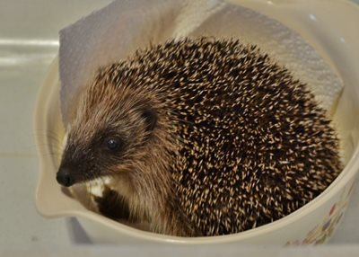 Hedgehog baby being weighed, by Elizabeth Dack
