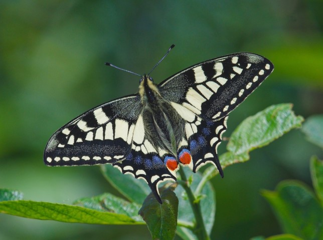 2018-05-30 Butterflies of Hickling walk