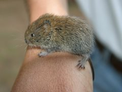 Field or Short-tailed Vole