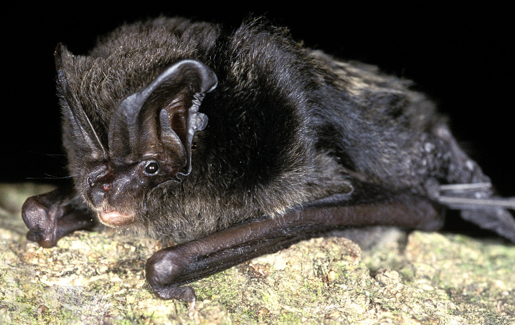 9 for 90: Barbastelle bat