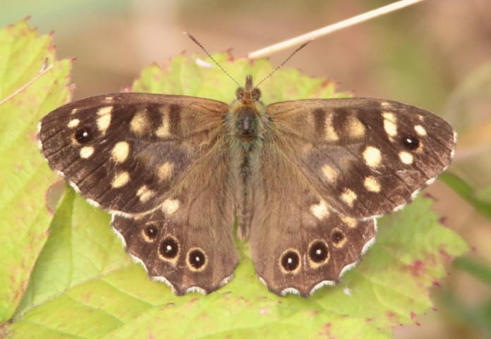 Speckled wood butterfly by Nick Goodrum