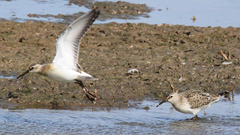 2019-08-02 Wader fall at Cley sets new re