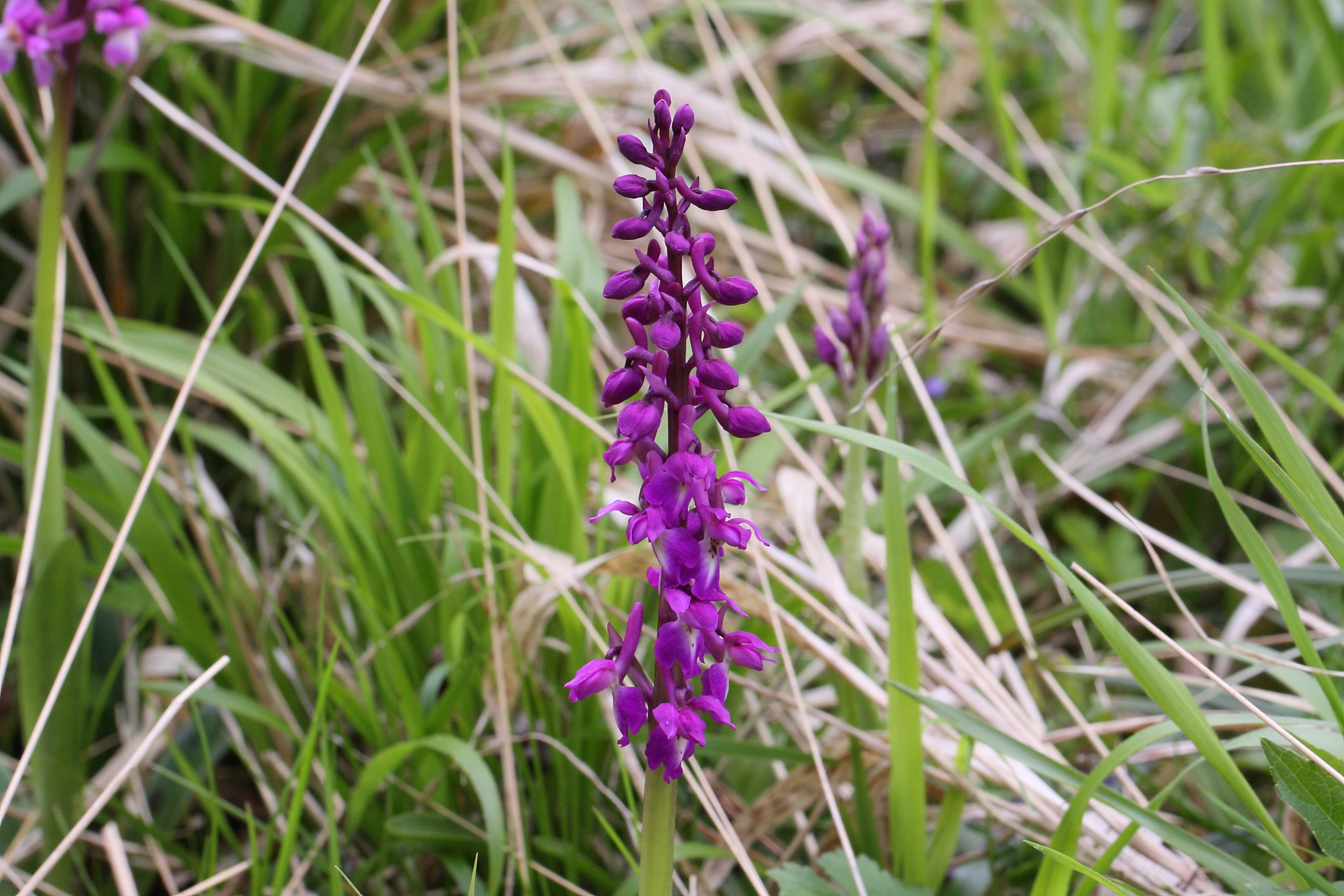 Early purple orchid by Brendan Joyce