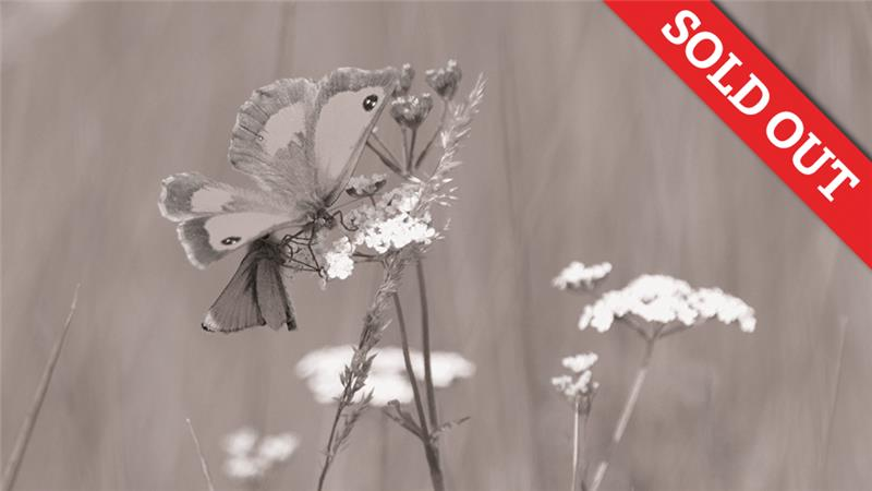 Butterfly Walk: Patrick Barham | Cley may be best known for its birds but North Norfolk is also a butterfly hotspot.  | NWT Cley Marshes NR25 7SA