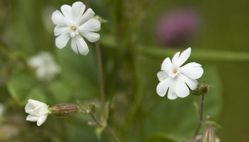 White campion by Paul Lane