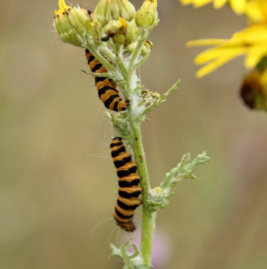 Cinnabar Moth Norfolk Wildlife Trust
