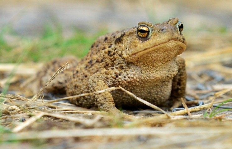 Common toad, photo by Liz Dack