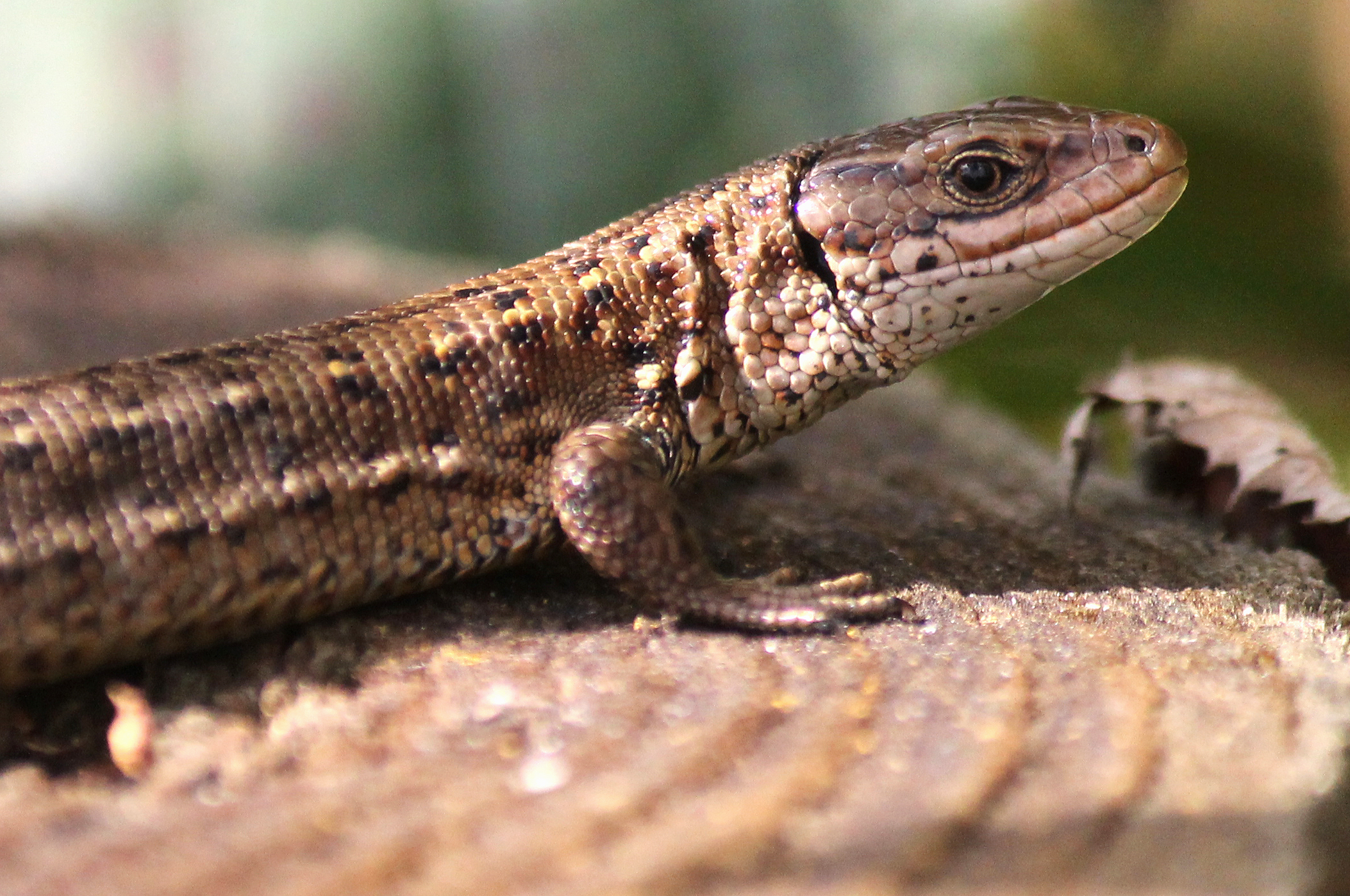 Protected Species Survey: Reptiles