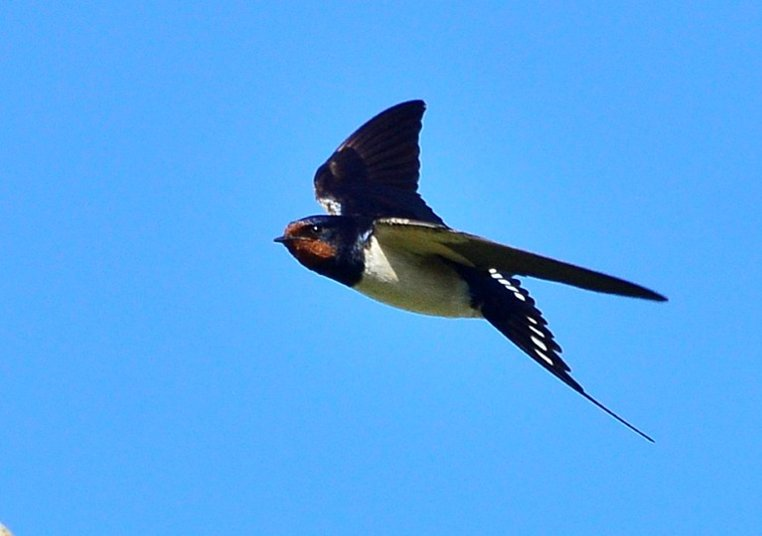 swallow swallow