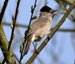 Blackcap, Nick Goodrum