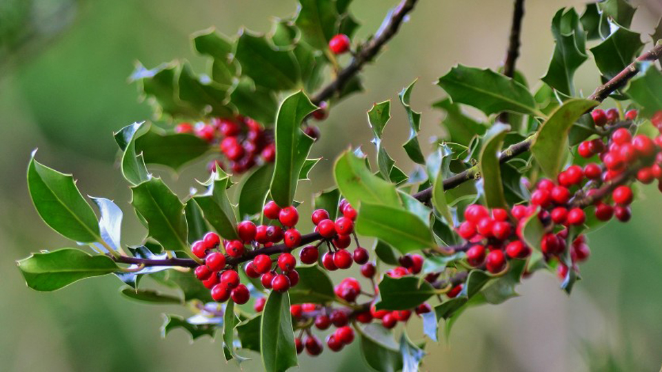 Holly tree with berries, photo by Liz Dack