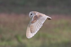What is happening to barn owl numbers?