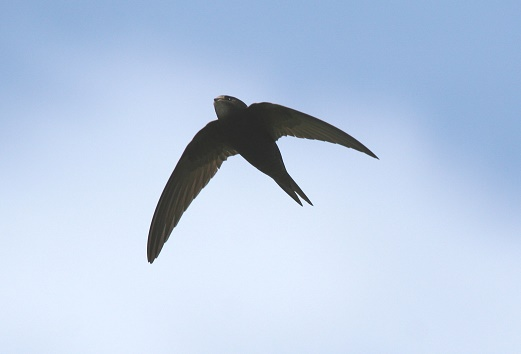 Swift at Titchwell by Julian Thomas